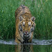 Siberian Tiger entering water by WildImages