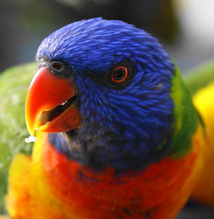 Lorikeet close up