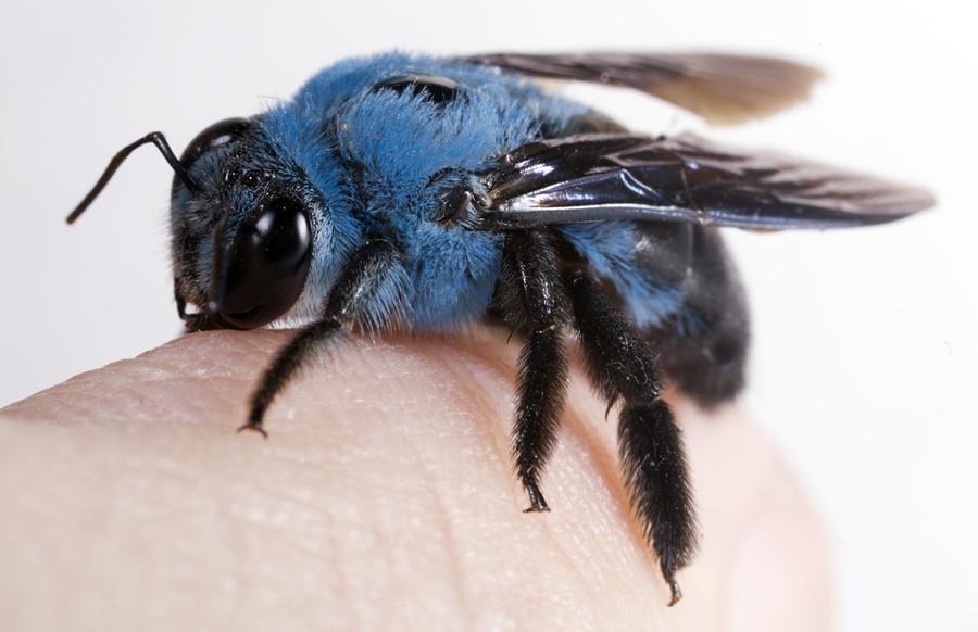 Blue Jacket Bee   Outdoor Jacket