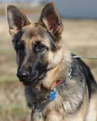 norwegian elkhound(0.0), greenland dog(0.0), saarloos wolfdog(0.0), dog breed(1.0), german shepherd dog(1.0), animal(1.0), dog(1.0), czechoslovakian wolfdog(1.0), pet(1.0), old german shepherd dog(1.0), belgian shepherd malinois(1.0), belgian shepherd(1.0), wolfdog(1.0), east-european shepherd(1.0), native american indian dog(1.0), shiloh shepherd dog(1.0), carnivoran(1.0),