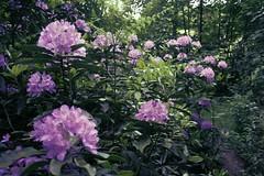 shrub, flower, plant, lilac, azalea,