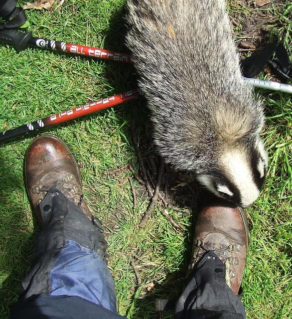 Badger foot