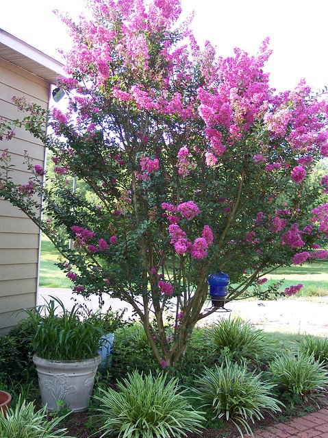 Our purple crape myrtle by the garage flickr photo for Trees for small yards