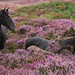 Horses in the Quantocks' Heather