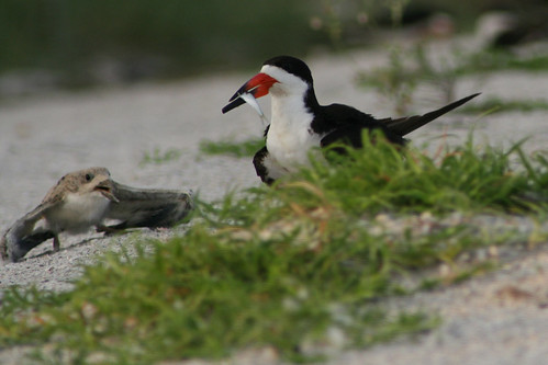 skimmer feeding chick