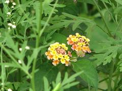 annual plant, flower, plant, wildflower, flora, lantana camara,