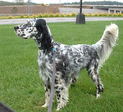 dog breed, animal, english setter, dog, pet, setter, russian spaniel, carnivoran,