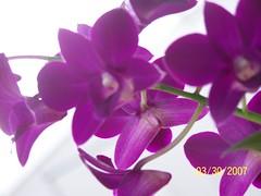 flower, purple, violet, plant, lilac, lavender, phalaenopsis equestris, flora, petal,