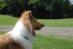 animal sports(0.0), hound(0.0), silken windhound(0.0), sighthound(0.0), sports(0.0), borzoi(0.0), afghan hound(0.0), dog sports(1.0), dog breed(1.0), animal(1.0), dog(1.0), saluki(1.0), pet(1.0), scotch collie(1.0), rough collie(1.0), collie(1.0), carnivoran(1.0),