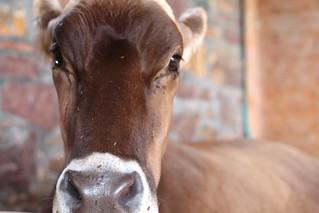 Shelburne Cow