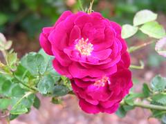 blossom(0.0), floribunda(0.0), rosa acicularis(0.0), rosa wichuraiana(1.0), annual plant(1.0), shrub(1.0), garden roses(1.0), rosa 㗠centifolia(1.0), flower(1.0), rosa gallica(1.0), plant(1.0), rosa rubiginosa(1.0), flora(1.0), rosa rugosa(1.0), pink(1.0), petal(1.0),