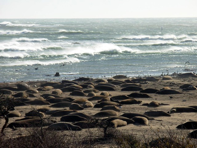 Elephant Seals at Ano Nuevo State Park, CA