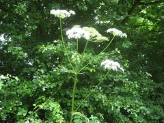 shrub(0.0), produce(0.0), apiales(1.0), flower(1.0), cow parsley(1.0), tree(1.0), plant(1.0), herb(1.0), anthriscus(1.0), flora(1.0), forest(1.0), angelica(1.0),