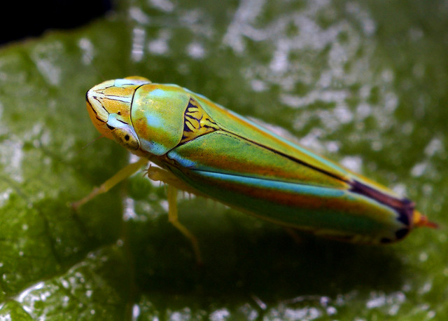 colorful leaf hopper by - photo #3