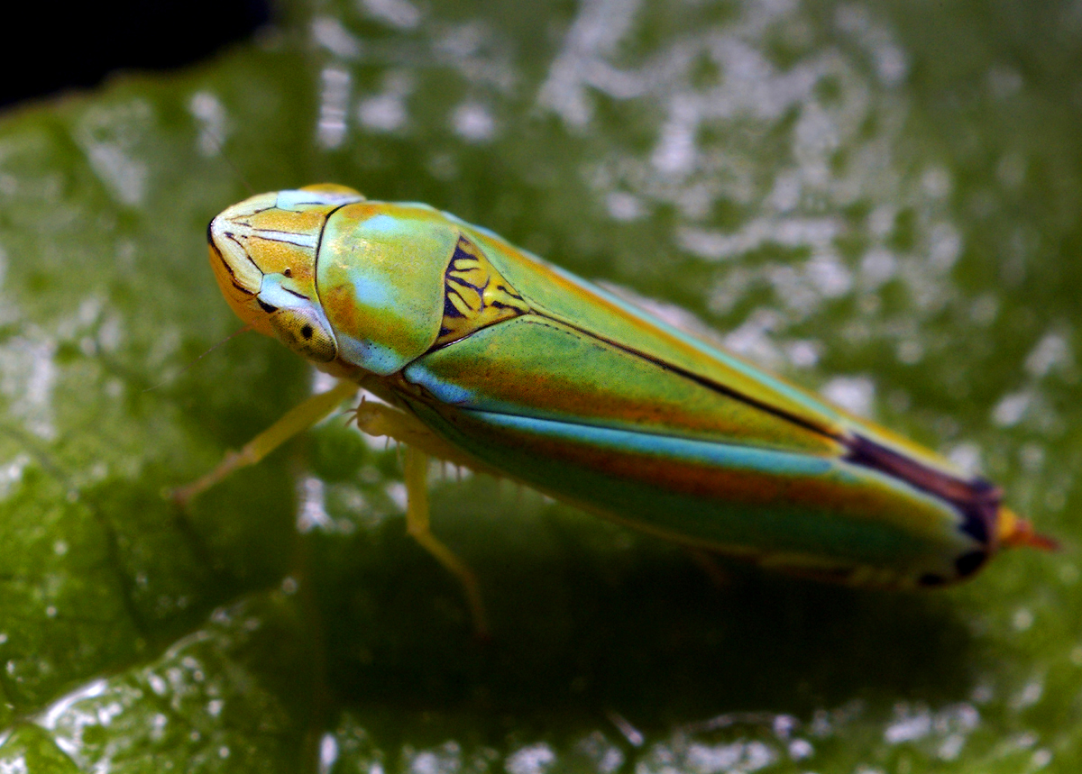 Colorful Leaf Hopper (Graphocephala versuta)