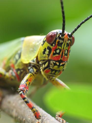 africa west macro canon insect photographie powershot grasshopper olivier insecte burkina macrophotography g7 faso criquet acrididae specanimal esnault powershotg7 pillot anawesomeshot leyessa kadomba spectacularmacro