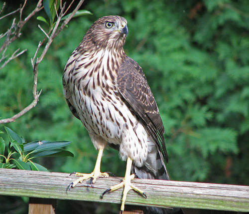 coopers hawk,immature