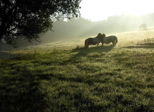 germany thuringia village bürden sunrise sunray meadow pasture green branch animal pony two love embrace mist liebe schatten morning sonne sonnenstrahlen twig ast zweig shadow explored grün zweitiere twoanimals hugging cuddling