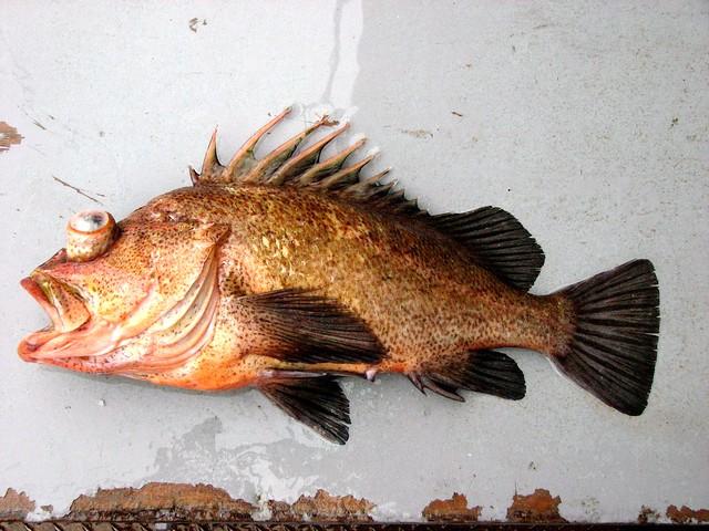 Quillback Rockfish (Sebastes maliger)   Flickr - Photo ...