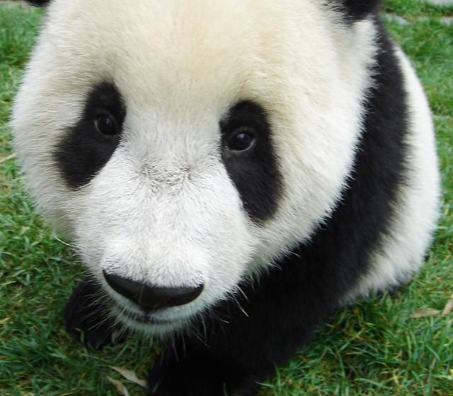 Baby Panda Bear   Flic...