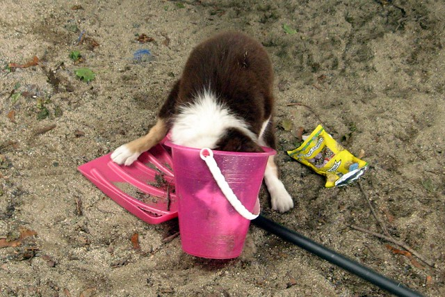 Funny Puppy in a Bucket Border Collie