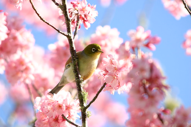 Wax eye in cherry blossoms