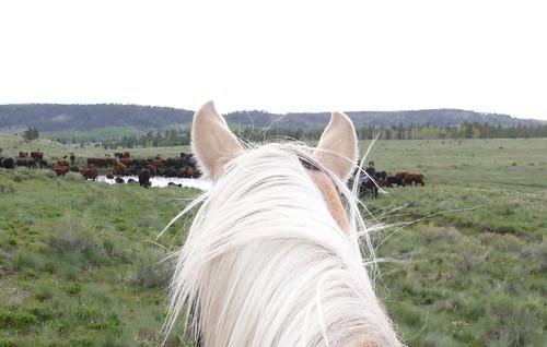 horses cattledrive