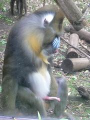 A post-coital mandrill at Portland zoo