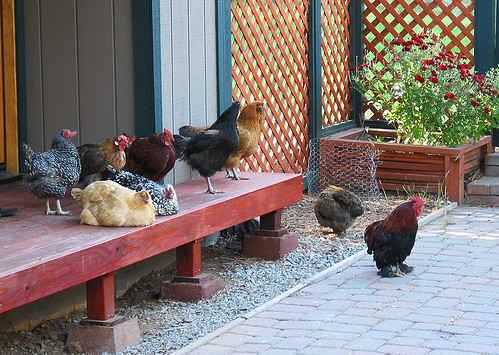 Sunday guarding the Hens resting on deck
