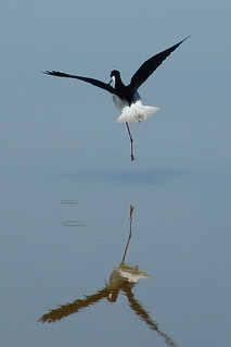 Black-necked stilt landing
