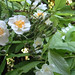 golden philadelphus and rose 'Seagull'