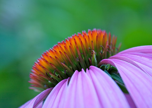 Isaac Stern's Purple Coneflower