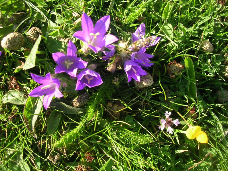 Clustered bellflower Glynde to Seaford