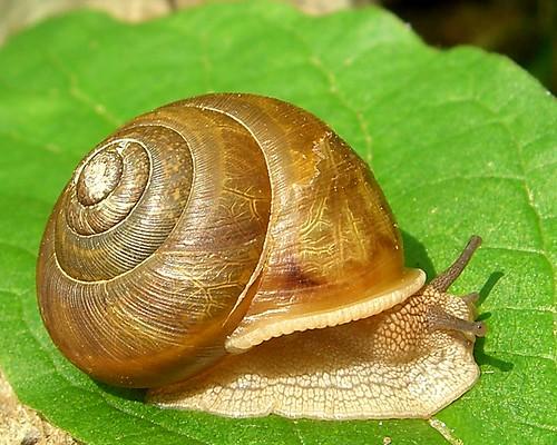 Gastropoda Order