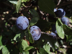blackberry(0.0), shrub(0.0), flower(0.0), plant(0.0), damson(0.0), huckleberry(0.0), produce(0.0), food(0.0), bilberry(0.0), plum(1.0), berry(1.0), branch(1.0), leaf(1.0), tree(1.0), flora(1.0), fruit(1.0), prunus spinosa(1.0),