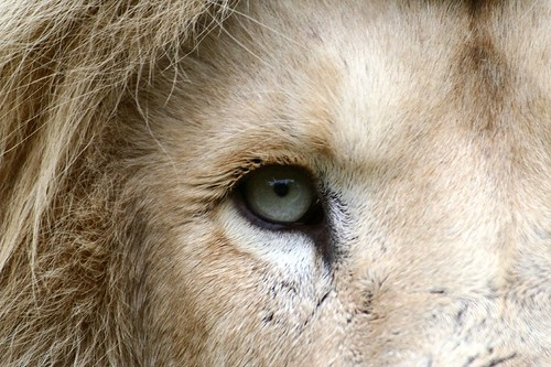 Rare White Lion from Lions Rock Reserve South Africa