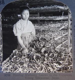 feeding silkworms