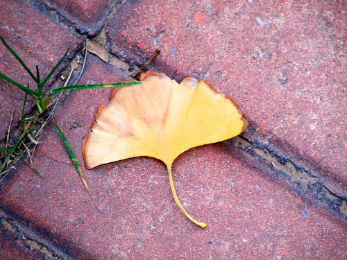 Golden ginkgo leaf