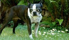 dog breed, animal, dog, pet, olde english bulldogge, boston terrier, carnivoran, bulldog,