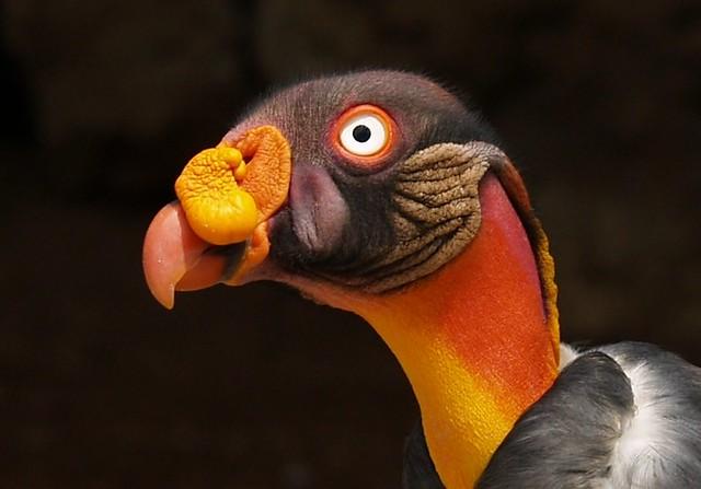 Condor Real ( Sarcoramphus papa )