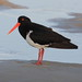 Pied Oystercatcher - Photo (c) Michael Dawes, some rights reserved (CC BY-NC)
