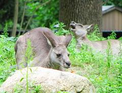 deer(0.0), white-tailed deer(0.0), musk deer(0.0), wallaby(1.0), animal(1.0), zoo(1.0), marsupial(1.0), mammal(1.0), kangaroo(1.0), fauna(1.0), wildlife(1.0),