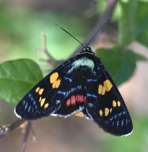 ebony arista ray ban  moth agarista