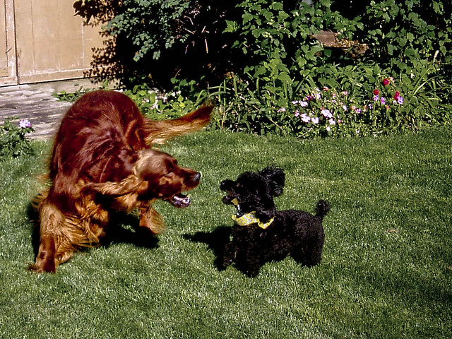 Puppy Play Fighting With Older Dog