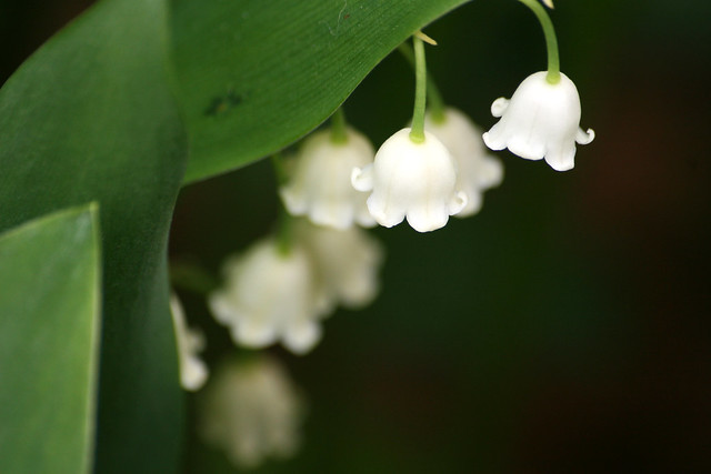 Lily of the valley, from Springtime