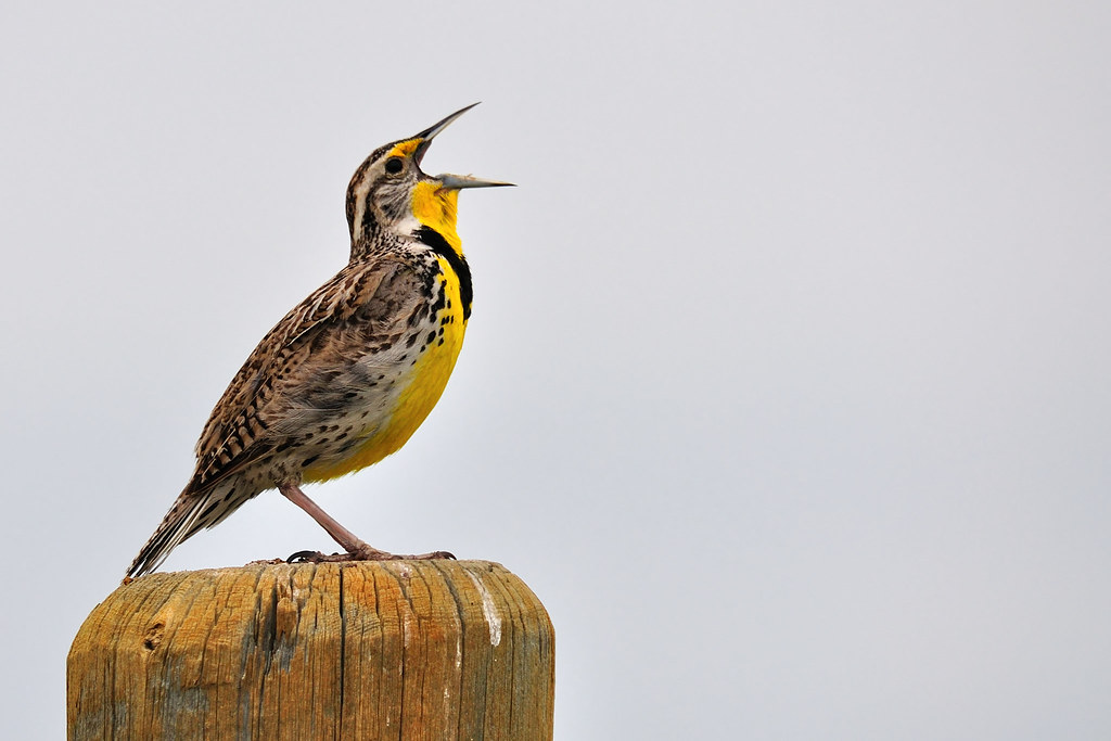 Meadowlark singing (or squawking) by jc-pics
