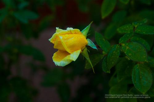 Rosa amarilla y lluvia. Fin de Semana Casa Rural en Los Cortijos y su entorno