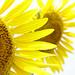 sunflower by hamapenguin