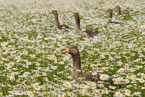 Swimming on a sea of daisies