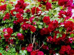busy lizzie(0.0), annual plant(1.0), shrub(1.0), garden roses(1.0), flower(1.0), leaf(1.0), red(1.0), plant(1.0), flora(1.0), petal(1.0),